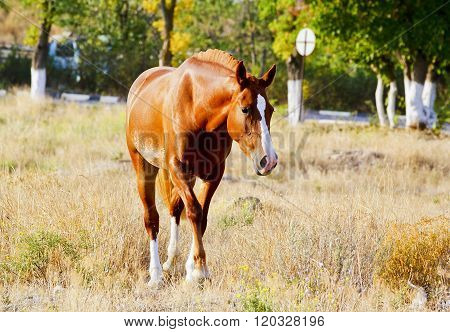 red horse with a white blaze on his head walks on a dry grass on a background of trees