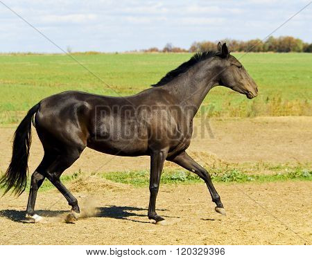 dark brown horse walking in a field on the sky background