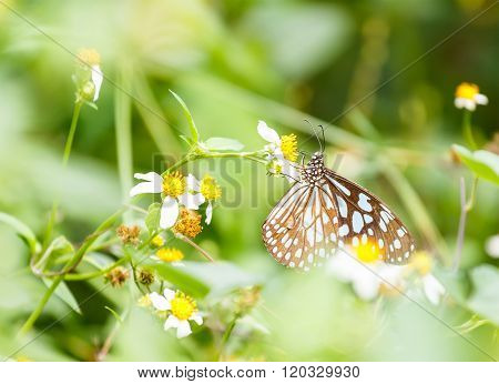 Dark Blue Tiger Butterfly  Sucking Food From Flower