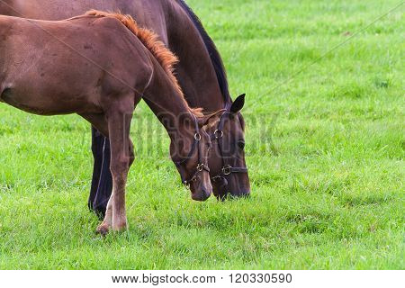 Mare With Her Colt On Pastures Of Horse Farms.