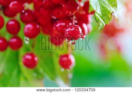 Guelder Rose, Viburnum Opulus, Red Berries With Dew