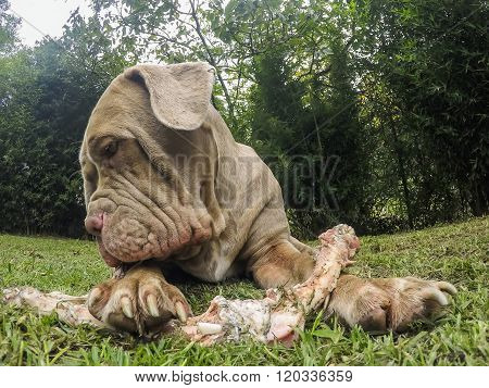 Portrait Of Neapolitan Mastiff Female Dog Lying On The Green Gras With An Oversize Bone