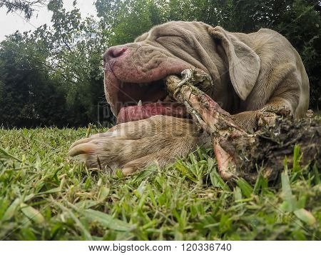 Close Up Of An Massive Neapolitan Mastiff Dog Eating Hypnotized A Raw Lama Bone Outdoor