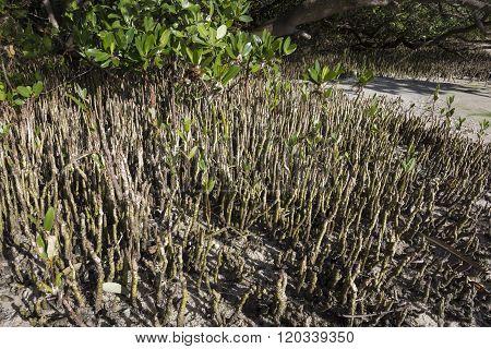 Closeup Black Mangrove Pneumatophores At Low Tide