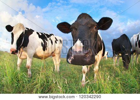Cow Head Close Up Via Fish Eye Lens