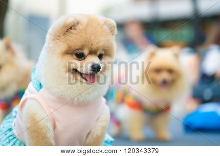 Cute Pomeranian Dog In Fashionable Clothes