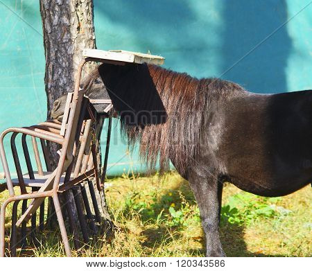 small black pony with beautyfull long mane stand next to chairs