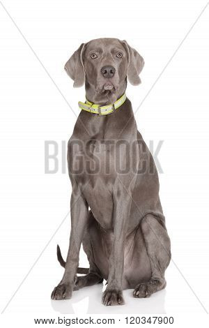 weimaraner dog on white