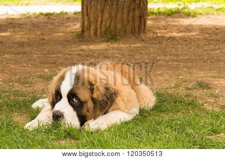Beautiful saint Bernard dog posing at a park looking at the camera.