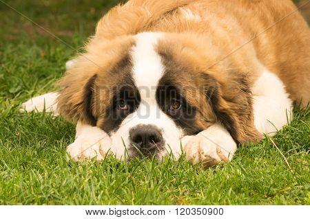 Saint Bernard dog puppy at a park. A cute moment.