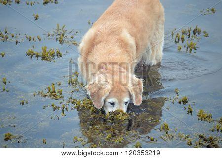 Humorous Golden Retriever fishing