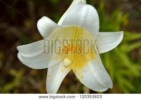 Easter Lilies And Ferns