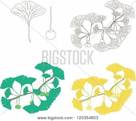 Ginkgo biloba branch with fruits and leaves, black and white, green, yellow