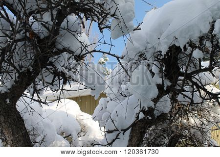 Snow bowed branches scenic