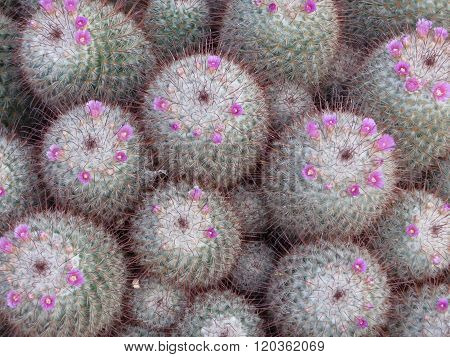 Group of flowering mammilaria cactuses