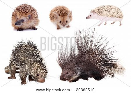 Porcupines and hedgehogs set isolated on white background