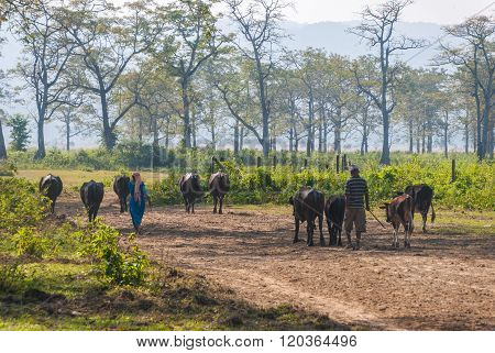 Nepalese People Looking After The Cattle