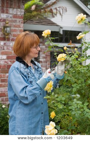 Women Cut Roses In Garden