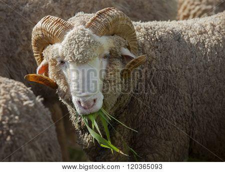 Male Merino Sheep Eating Ruzi Grass In Rural Ranch Farm