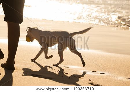 Dog carrying ball on beach in summer.