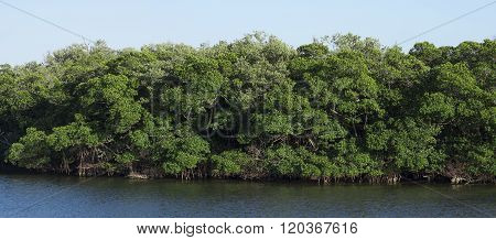 Panoramic Of Healthy Mangrove Forest