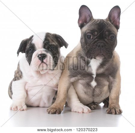 english and french bulldog puppies sitting looking at viewer on white background