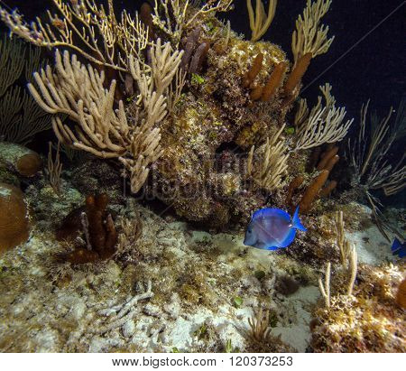 Surgeonfish (acanthurus Coeruleus) During Night Dive