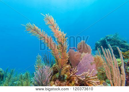 Soft Corals Near Cayo Largo
