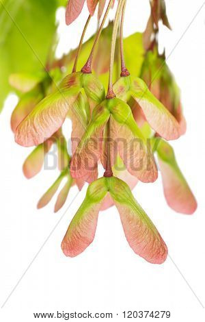 Red Maple (acer rubrum) seeds on a white background.