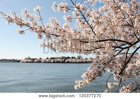 pink cherry blossom in sunny day near tidal basin in Washington DC