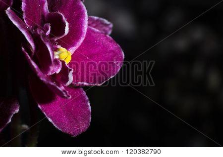 Magenta African Violet Flower Close-up