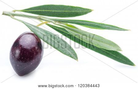 One half-ripe (semi-ripe) fresh olive berry with leaves on the white background.