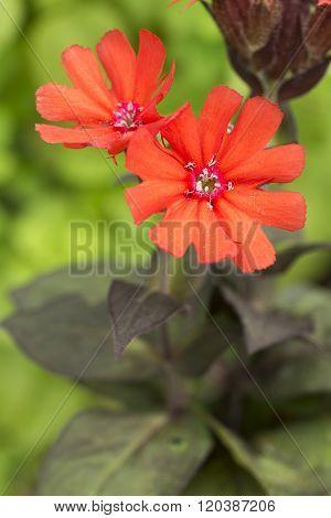 Lychnis sieboldii flowers