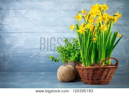 Bunch yellow narcissus in wattled basket at blue wooden board