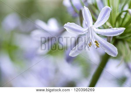 Agapanthus africanus flower