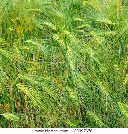 Bright Background Of Wheat Ears