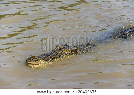 Saltwater crocodile in the Adelaide River, Kakadu National Park, Darwin, Australia