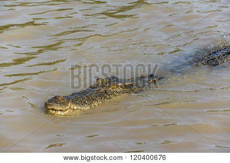 Saltwater crocodile in the Adelaide River, Kakadu National Park, Darwin, Australia