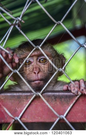 Lonely, sad monkey in a cage in Thailand