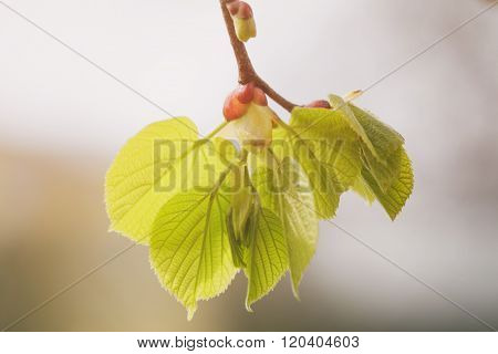 first leaves and buds on linden tree springtime photo