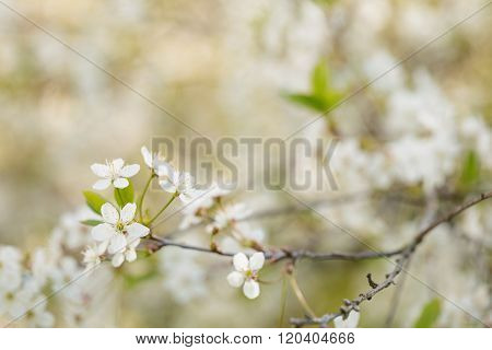 White cherry blossoms in spring