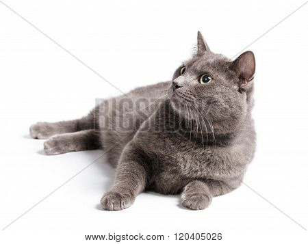 gray cat with green eyes lying