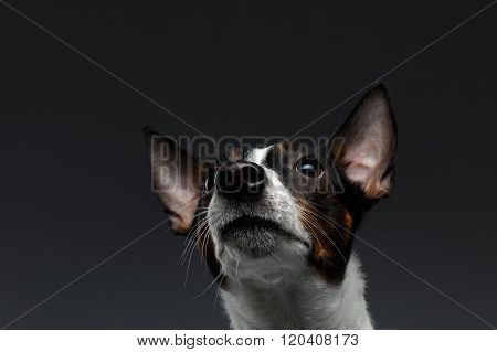 Closeup Portrait Of Jack Russell Terrier Dog Looking Up