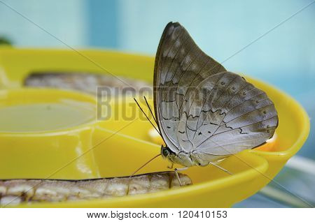 Butterfly Eating A Banana