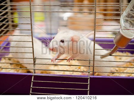 Curious White Rat