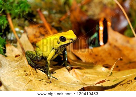 Colourful yellow frog Fillobates terribilis in natural environment