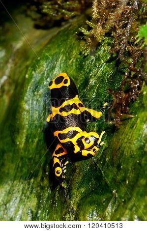 Colorful yellow and black frog Dendrobates leucomelas in natural environment