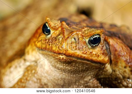 Large brown tropical toad Bufo marinus close-up