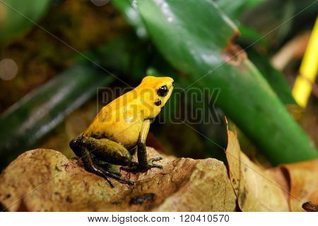 Colorful yellow frog Fillobates terribilis in natural environment