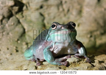 Australian green frog in natural environment. Plump frog.